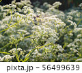White Cow parsley flowers 56499639