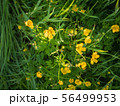 Buttercup flowers in middle of green grass 56499953