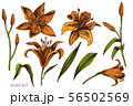 Vector set of hand drawn colored lilies 56502569