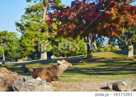 奈良公園の鹿 56571065