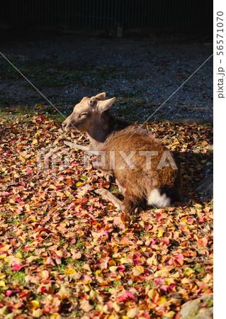 奈良公園の鹿 56571070