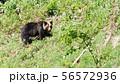 知床の野生のヒグマ 56572936