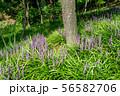 achasan broadleaf liriope 56582706