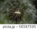 Macro photo of dandelion flower. Summer meadow. Close up. 56587595