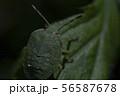 Macro photo of green shield bug. Palomena prasina . Forest insect. 56587678