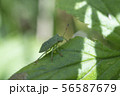 Macro photo of green shield bug. Palomena prasina . Forest insect. 56587679