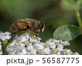 Hoverfly, flower fly or syrphid flies Macro photo of insect family Syrphidae 56587775