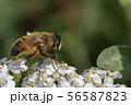 Hoverfly, flower fly or syrphid flies Macro photo of insect family Syrphidae 56587823
