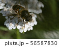 Hoverfly, flower fly or syrphid flies Macro photo of insect family Syrphidae 56587830