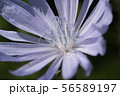 Macro photo of cichorium intybus flower blossom. Blue sailors, chicory, coffee weed, or succory is a 56589197