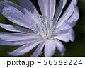 Macro photo of cichorium intybus flower blossom. Blue sailors, chicory, coffee weed, or succory is a 56589224