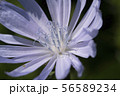 Macro photo of cichorium intybus flower blossom. Blue sailors, chicory, coffee weed, or succory is a 56589234