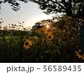 夕焼けと花壇1 56589435