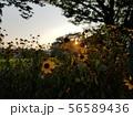 夕焼けと花壇2 56589436