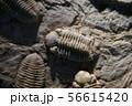 古代生物の化石 56615420