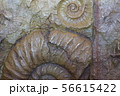 古代生物の化石 56615422