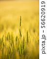 小麦畑 56620919