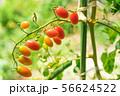 家庭菜園のミニトマト アイコ 56624522