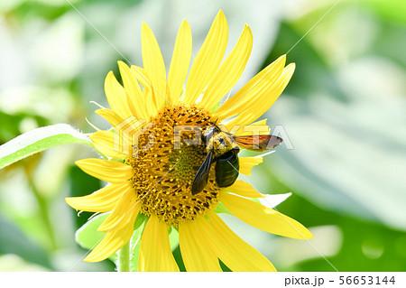 クマバチとひまわり 56653144
