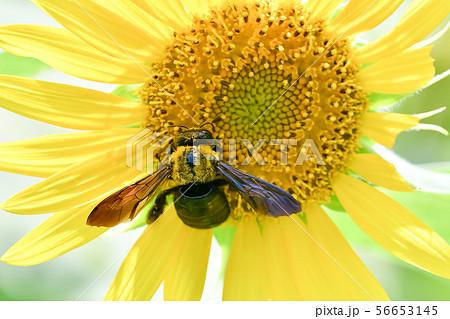 クマバチとひまわり 56653145