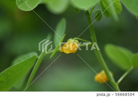 エビスグサの花 56668504