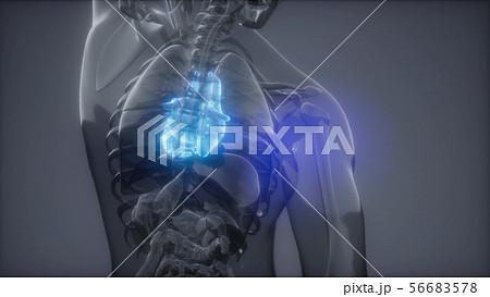 Human Heart Radiology Exam 56683578