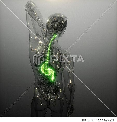 Human Stomach Radiology Exam 56687274