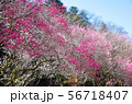 高尾梅郷遊歩道 駒木野公園 (東京都八王子市) 2019年3月 56718407