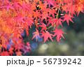 白鳥庭園の紅葉 56739242
