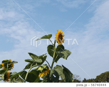 夏の大きな黄色い花はヒマワリの花 56740444