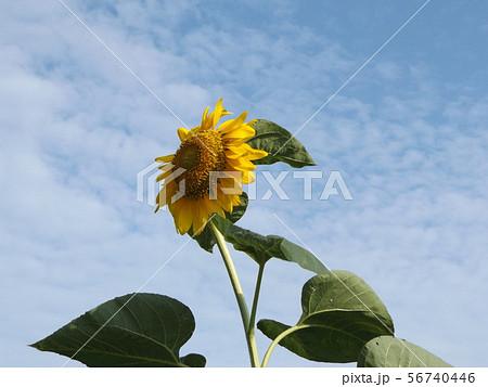 夏の大きな黄色い花はヒマワリの花 56740446