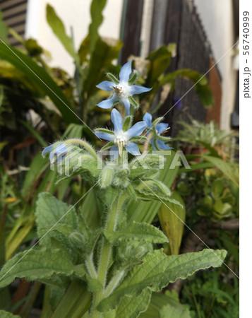 ボリジの苗が青い星型の花を咲かせるまでに育ちました 56740999