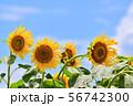 真夏の風景 ひまわり 56742300