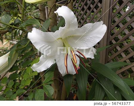 夏の大きい白いゆりはカサブランカ 56743377