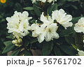 Blooming bush with white flowers in the forest at morning 56761702