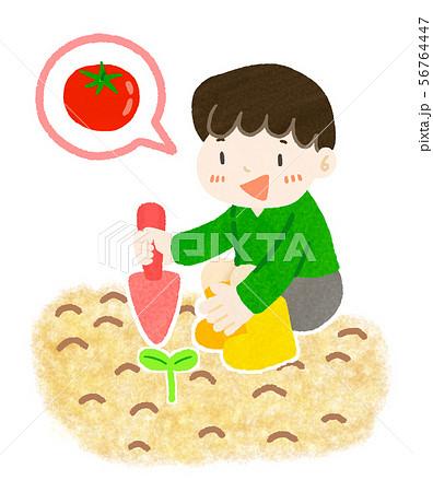 畑に苗を植えるこども(トマト) 56764447