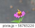 イチモンジセセリとヒャクニチソウ 56765220