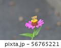 イチモンジセセリとヒャクニチソウ 56765221