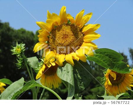 夏の大きい黄色い花は向日葵の花 56767722