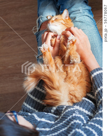 Cute ginger cat dozing on woman knees.  56778067