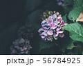 薄いブルーと紫の紫陽花 56784925