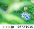 ブルーの鮮やかなあじさい-2 56784930
