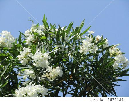 千葉の花木夾竹桃の白い一重の花 56791844