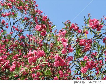 千葉の花木夾竹桃の八重の赤い花 56791849