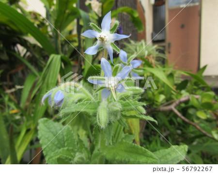 青い星型の花はボリジの花 56792267