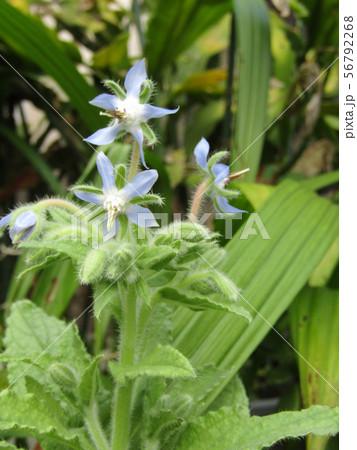 青い星型の花はボリジの花 56792268