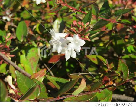 歩道の植え込みの白い可愛い花はアベリアの花 56792270