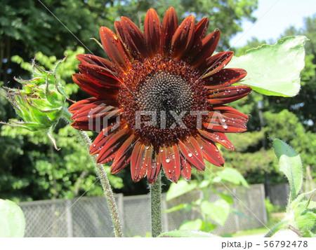 夏の花の王者向日葵の赤い花 56792478