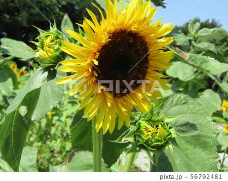 夏の花の王者向日葵の黄色い花 56792481