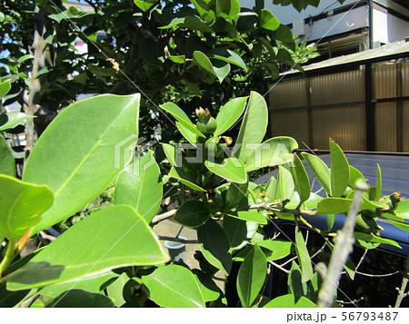 これから黄色になるトロピカルフルーツヒメグァバの若い実 56793487